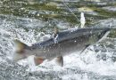 Oregon reopens Columbia River for salmon  -offfishing